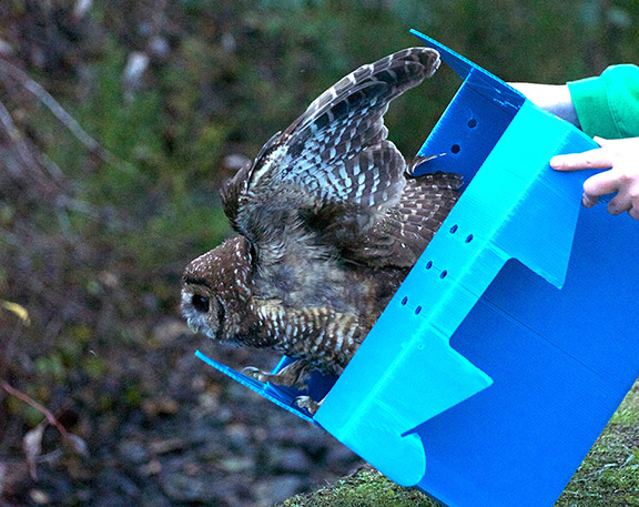 A northern spotted owl released near Blue Lake by Humboldt Wildlife Care Center/Bird Ally X staff after treatment. Photo: Laura Corsiglia.
