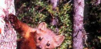 Humboldt marten in a tree. Photo: USFWS.