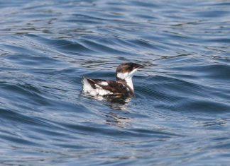 Marbled murrelet at sea. Photo: Craig Strong.