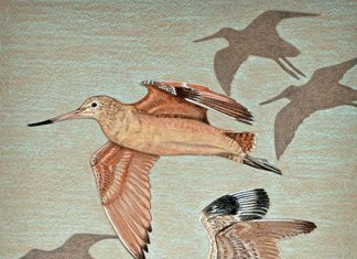Godwits in flight—poster art for Godwit Days 2018. Painting by Patricia Sundgren Smith.