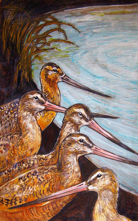 Marbled Godwits are one of manny species of shorebirds that flock to Humboldt Bay in the spring. Artwork courtesy of Godwit Days.
