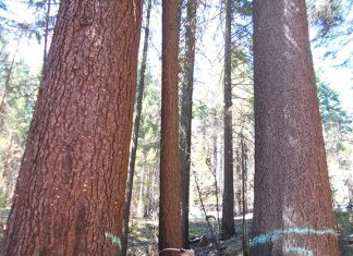 Old growth trees are marked for post-fire logging in the Klamath National Forest. Photo: Cooper Rodgers