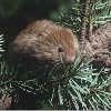 A red tree vole (Arborimus longicaudus), cousin of the Sonoma tree vole, gathering needles. Photo: Stephen DeStefano, USGS.