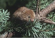 A red tree vole (Arborimus longicaudus), cousin of the Sonoma tree vole, gathering needles. Photo: Stephen DeStefano, USGS.