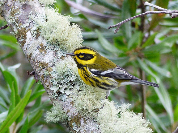 A male Townsend's warbler. Photo: © Rob Fowler, used with permission.