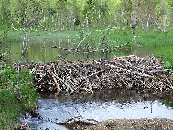 A beaver dam in Norway. Photo: Ole Husby, Flickr CC.