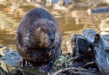 A North American beaver (Castor canadensis). Photo: hehaden, Flickr CC.