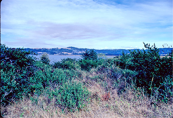 1981: This coastal prairie habitat had been passively grazed by cattle for a century or more. Although some natural succession occurred, the habitat was held in check by grazing. The habitat at that time supported a vigorous (albeit largely non-flowering) population of western lily and a variety of other early successional wildflower species. Photo: Dave Imper.