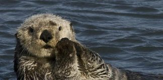 An endangered sea otter. Photo: Chuck Abbe, Flickr.com CC.