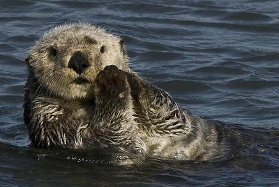 An endangered sea otter. Photo: Chuck Abbe, Flickr.com CC.
