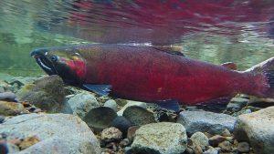Coho spawning on the Salmon river. Photo: Wikimedia Commons