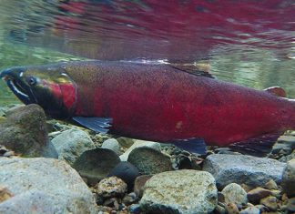 Coho spawning on the Salmon river Credit Wikimedia Commons