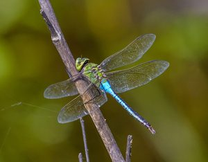 A green darner dragonfly. Photo: Cletus Lee, Flickr CC.