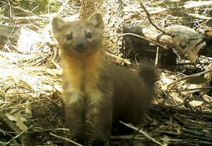 Humboldt marten. Photo: Charlotte Eriksson, Oregon State University.