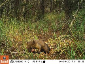 Humboldt marten, photo captured October 9, 2015. Photo: Mark Linnell, USFS.