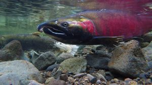 Pacific salmon. Photo: NPS Climate Change, Flickr CC