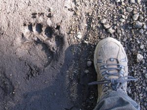 The foot of NEC volunteer Susan Nolan next to a bear paw print, taken in the western Trinities while researching Forest Service grazing leases. Photo courtesy of Susan Nolan.