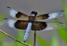 A widow skimmer dragonfly. Photo: D. Huntington, OdontataCentral CC.