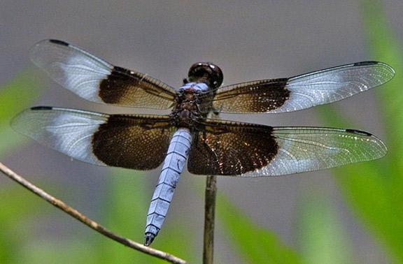 Creature Feature: Dragonflies and Damselflies