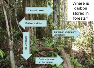 An educational slide showing where carbon is stored in a forest. Photo: reddplusccpp, slideshare.net.