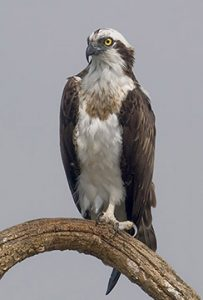 Osprey. Photo: Yathin S Krishnappa, WIkimedia CC