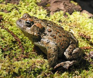 Western toad. Photo: Oregon State University, Flickr CC.