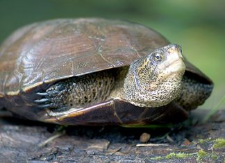 Western pond turtle. Photo: Oregon Department of Fish and Wildlife CC