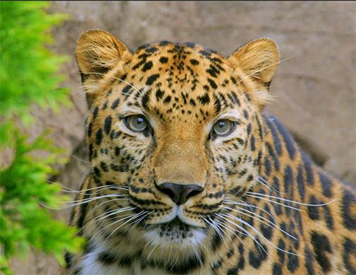 Amur leopard. Photo: Ucumari Photography, Flickr CC.