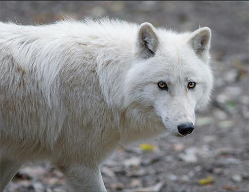 Arctic wolf. Photo: Soren Wolf, Flickr CC.
