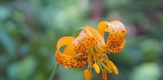 Columbia lily. Photo: Len Mazur.