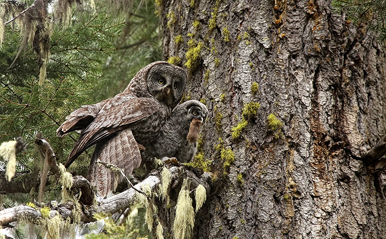 Great grey owls. Photo: Dan Elster Photography, courtesy of KS WIld.