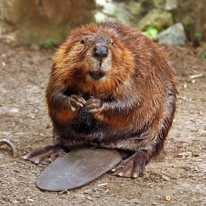 North American Beaver Credit Wikimedia Commons