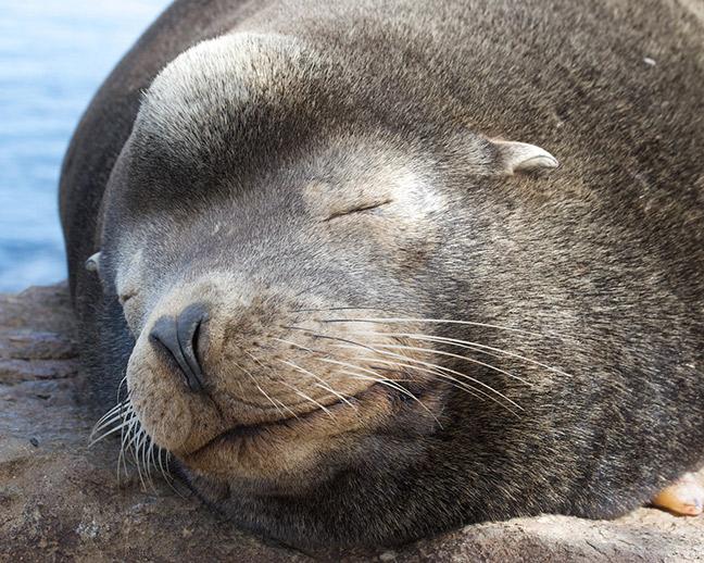 Closeup of a male California sea lion. Photo: Amy the Nurse, Flickr CC.