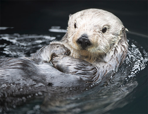 Southern sea otter. Photo: Max Rae, Flickr CC.
