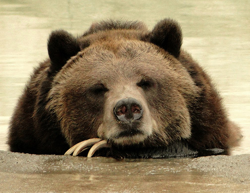 Grizzly bear. Photo: Maia C., Flickr CC.