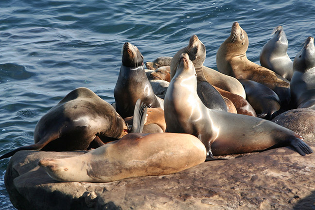 Above: California sea lions sunning themselves at Fisherman's Wharf in San Francisco. Photo: Bill Lim, Flickr CC. Below: Closeup of a male California sea lion. Photo: Amy the Nurse, Flickr CC.