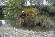 Randy Klein with large sedge on the Mad River Credit Dana Stolzman/ Salmonid Restoration Federation