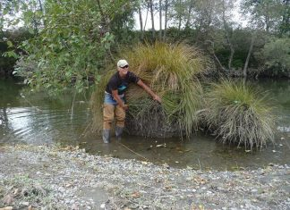 Randy Klein with large sedge on the Mad River Credit Dana Stolzman/ Salmonid Restoration Federation