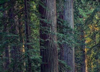 Redwoods and rhododendrons in Redwood National Park. Photo: Martin Swett.