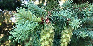 Douglas-fir (Pseudotsuga menziesii). Photo: Michael Kauffmann.