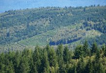 Green Diamond Resources (formerly Simpson Timber) is converting the North Coast forests it controls (this one is in Redwood Creek) into tree plantations. That increases the fire risk to nearby towns, including Hoopa, Weitchpec, Klamath and Trinidad. Photo: Felice Pace.
