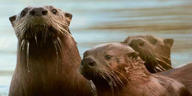 River Otters. Photo: Alan Peterson.