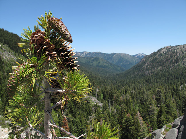 Western white pine (Pinus monticola). Photo: Michael Kauffmann.
