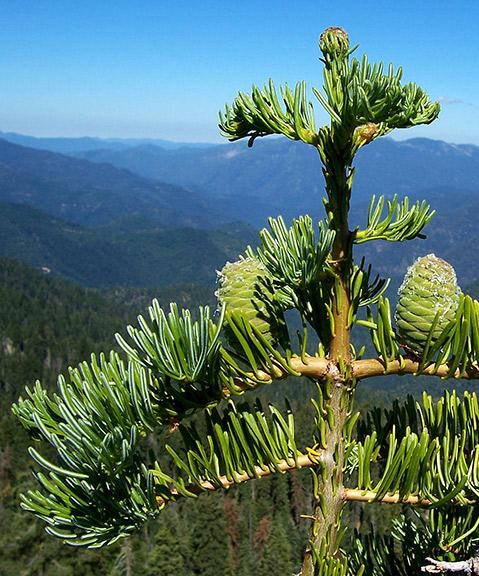 White fir (Abies concolor). Photo: Michael Kauffmann.