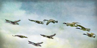 Wild geese in flight. Photo: Liz West, Flickr.com CC.