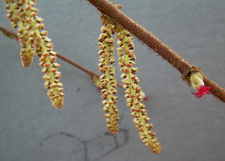 Dangling male catkins of California hazelnut, with one female flower. Photo: Donna Wildearth.