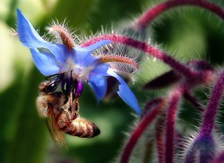 A bee collects nectar from a blue borage flower. Photo: TJ Gehling, Flickr.com CC.