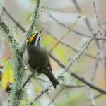 Golden-crowned kinglet. Photo: © Rob Fowler, used with permission.