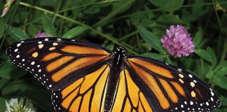 Monarch butterfly. Photo: Dwain Harrelson, Wikimedia CC.