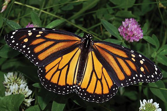 Monarch butterfly. Photo: Dwain Harrelson, Wikimedia CC.